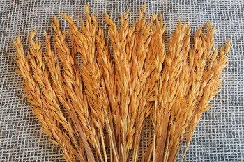OWIES KOLOR JASNOPOMARAŃCZOWY zboże suszone kłosy zbóż do dekoracji w stylu rustykalnym