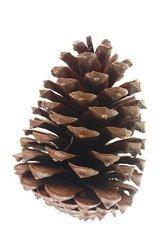 SZYSZKA GIGANT PINUS MARITIMA LARGE 13-17 cm naturalna niebarwiona bardzo duża szycha