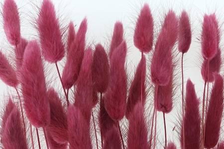 DMUSZEK JAJOWATY KOLOR BURACZKOWY (Lagurus ovatus) ozdobna trawa suszona