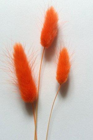 DMUSZEK JAJOWATY KOLOR JASKRAWOPOMARAŃCZOWY pęczek XL ~70 szt. (Lagurus ovatus) ozdobna trawa suszona