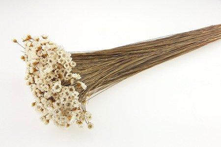 GLIXIA KOLOR NATURALNY 2 gliksja niebarwiona dłuższy pęczek suszki dekoracyjne