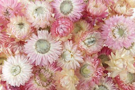 KOCANKA SUSZONA MIX JASNORÓŻOWY (suchołuska, nieśmiertelnik, Helichrysum) kwiaty suszone suszki dekoracyjne