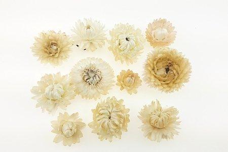KOCANKA SUSZONA MIX KREMOWY (suchołuska, nieśmiertelnik, Helichrysum) kwiaty suszone suszki dekoracyjne