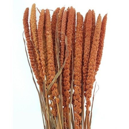 WŁOŚNICA KOLOR RUDY (setaria) trawa ozdobna na suche bukiety