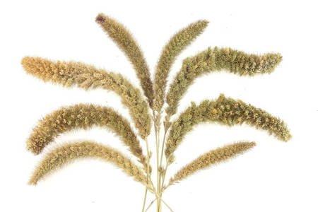 WŁOŚNICA WIELKOKŁOSOWA KOLOR NATURALNY (Setaria macrostachya) trawa ozdobna na suche bukiety
